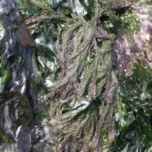 Acrosiphonia alga by Sean Rangel