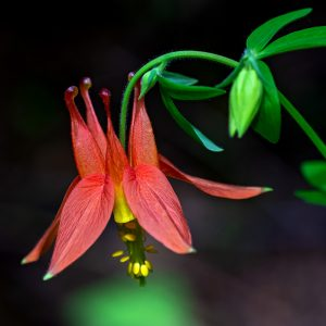 Columbine (Aquilegia formosa) by James Holkko