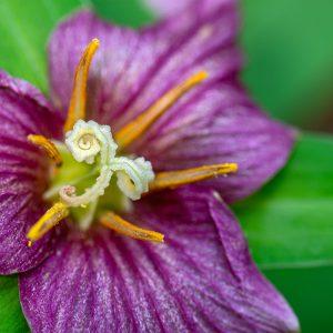 Western Trillium (Trillium ovatum) by James Holkko