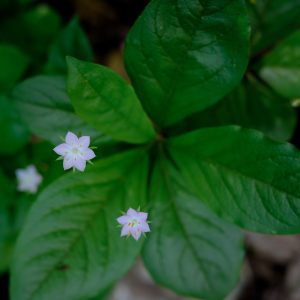 Northern Starflower (Trientalis latifolia) by Andrea Rangel