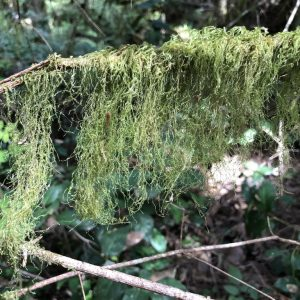 Cat-tail Moss (Isothecium stoloniferum) by Marcia Waterway